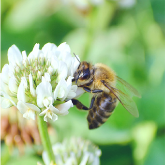 国産生蜂蜜・日本ミツバチ蜜