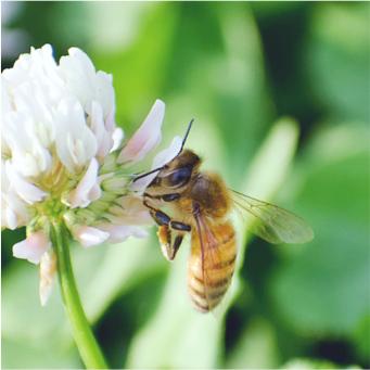 国産生蜂蜜と西洋ミツバチ