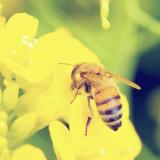 国産生蜂蜜の通販サイト・ハニープラントのミツバチの種類を知る