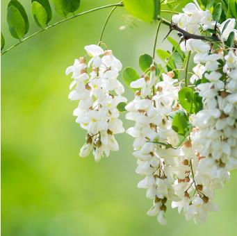 国産生蜂蜜の通販サイト・ハニープラント|蜜源植物アカシア