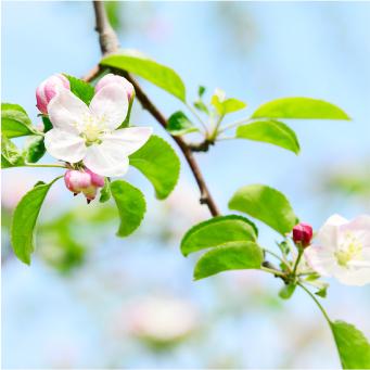 国産生はちみつの通販サイト・ハニープラント|蜜源植物リンゴ