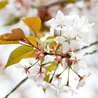 国産生蜂蜜蜜源山桜