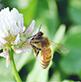 国産ハチミツの通販サイト・ハニープラント|日本ミツバチ