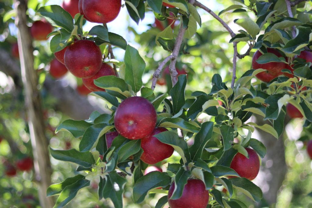 信州立科産リンゴはちみつ Mサイズ(120g)