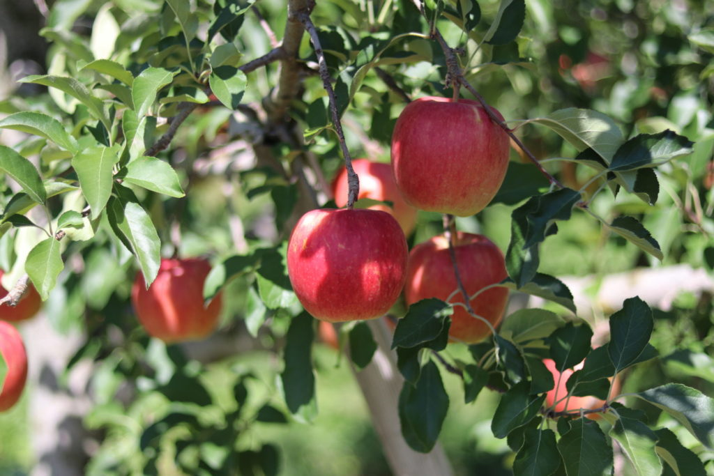 信州立科産リンゴはちみつ ボトルタイプ(500g)     <長野県産品ECサイト送料無料キャンペーン 対象商品>