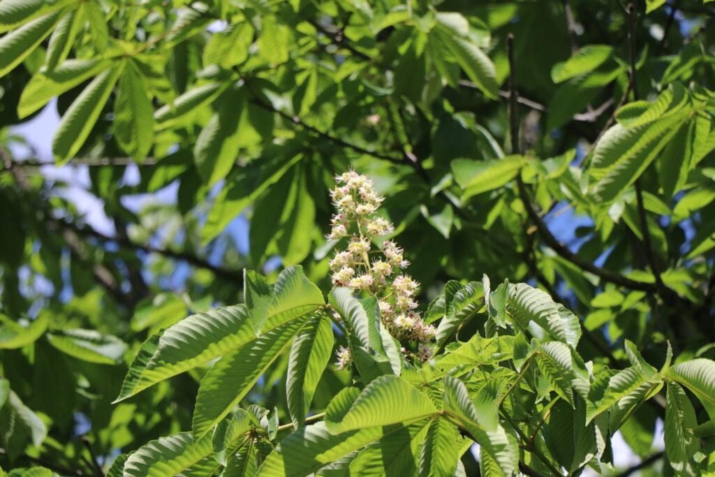 軽井沢町にトチの花が咲きました。「軽井沢産トチはちみつ」採蜜中です。